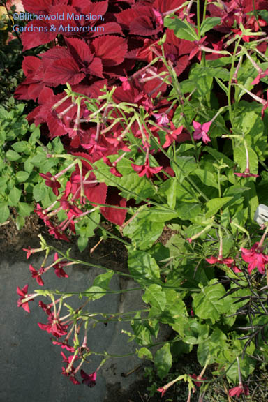 Nicotiana 'Crimson Bedder' and Coleus 'Redhead'