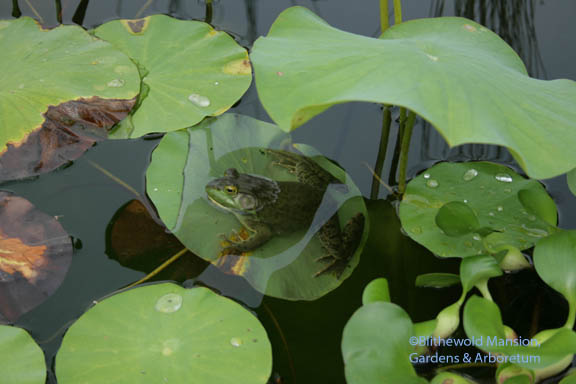 big frog on a lotus leaf