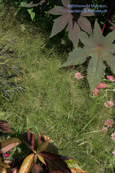 Panicum elegans 'Frosted explosion' and Castor bean 'Pretty Purple'