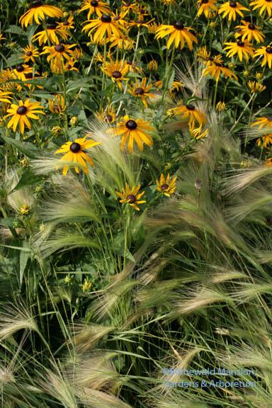 Hordeum jubatum - foxtail barley, and Rudbeckia