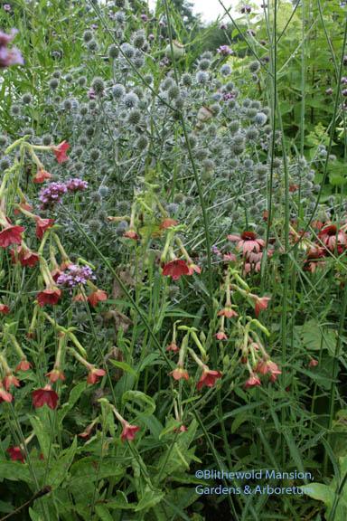 Nicotiana 'Crimson Bedder' and Eryngium planum