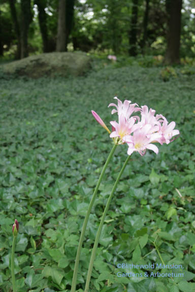 Lycoris squamigera - Resurrection lily - blooming now in the Bosquet