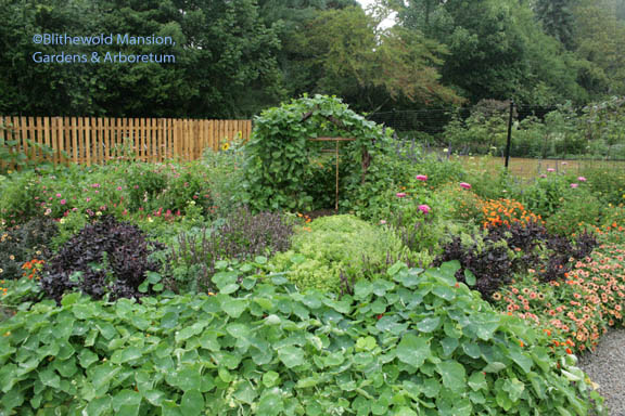 a mountain of nasturium and the pole bean house in vegetable garden