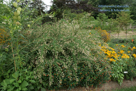 Lespedeza thunbergii 'Edo Shibori' (underplanted with Cuphea 'David Verity')