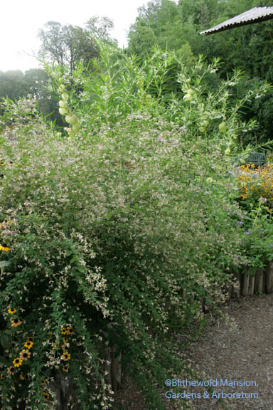 Lespedeza from the other side - cascading over a short wall in the children's bed