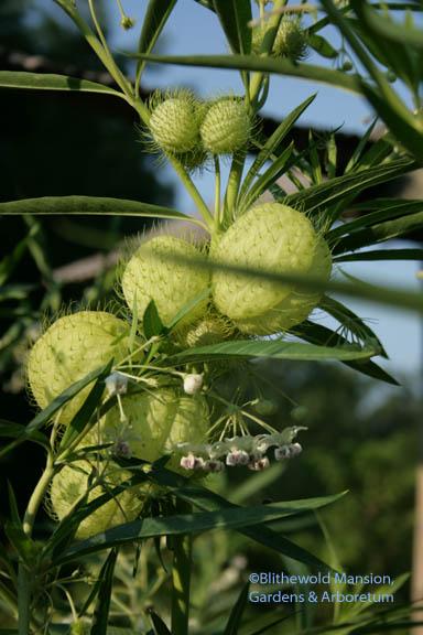 Gomphocarpus physocarpus a.k.a. Asclepias physocarpus 'Oscar' already making seed pods