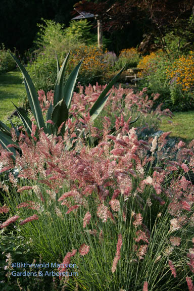 Melinis nerviglumis 'Savannah' - pink paintbrush grass and agava - a favorite combo