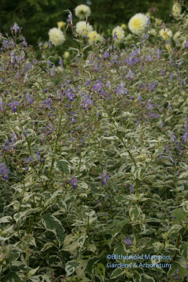 Caryopteris divaricata 'Snow Fairy'