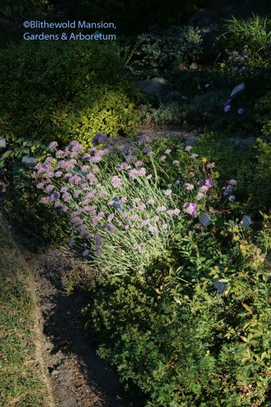 spotlight on the curly chives (Allium senescens ssp. montanum var. glaucum)
