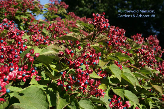 Harlequin glory bower - Clerodendron trichotomum