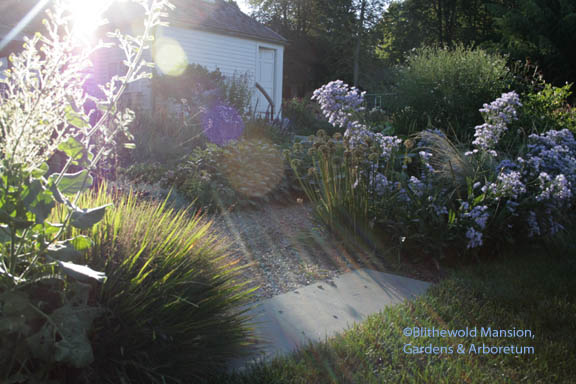 morning light on the herb garden (Eragrostic spectabilis - purple love grass and Nicotiana knightiana on left)