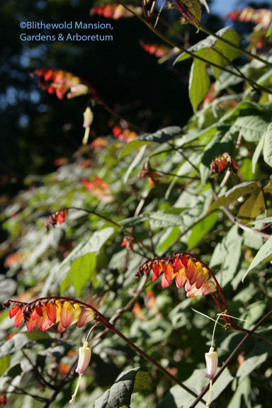 Mina lobata - Spanish flag
