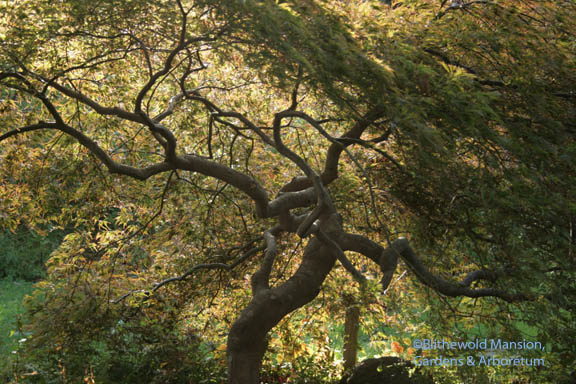 backlit Japanese maple in the Rock Garden