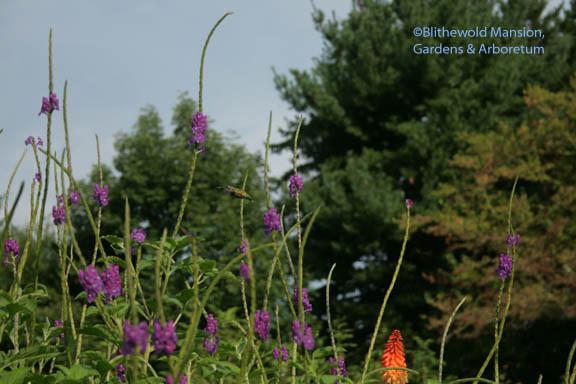 Stachytarpheta jamaicensis - and a hummingbird!