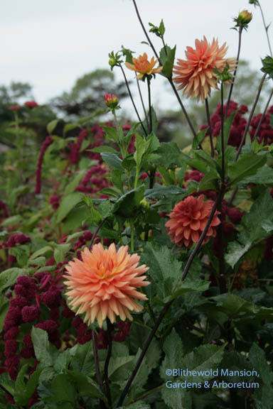 Dahlia 'Tropic Sun', Amaranth 'Dreadlocks' (love-lies-bleeding)
