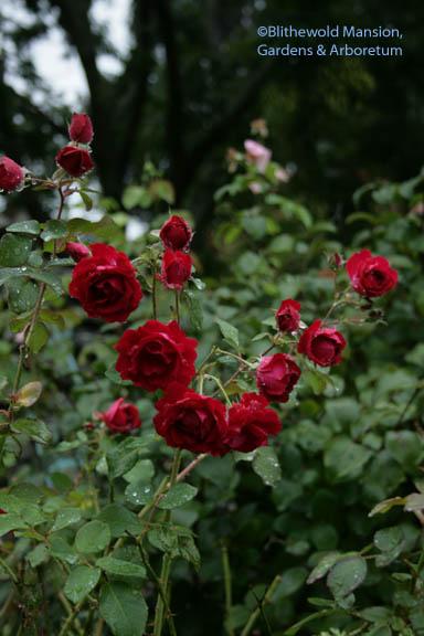 Rosa 'Champlain' in the rain