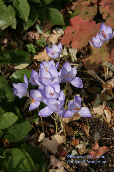 Crocus speciosus (I think - none of us remembers planting it) blooming last week