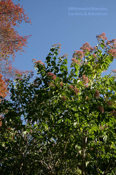 Seven-son flower (Heptacodium miconioides)