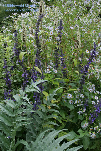 a gray, gray day combo - Salvia 'Mystic Spires', aster and cardoon