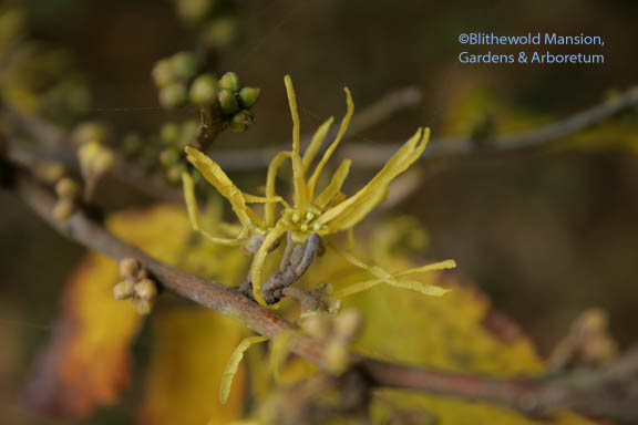 common witch hazel (Hamamelis virginiana)
