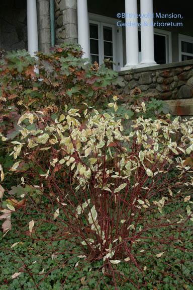 Tatarian dogwood (Cornus alba 'Ivory Halo')