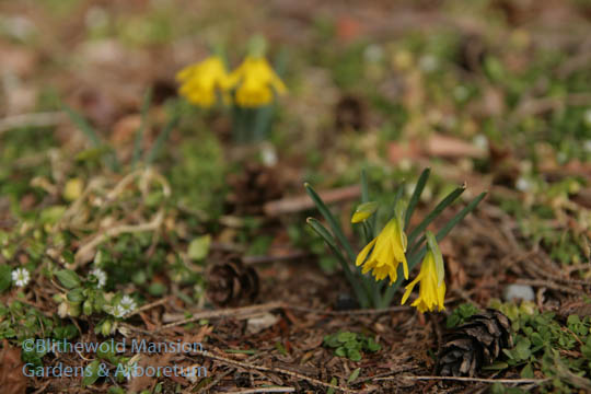 Blithewold's first daffodils