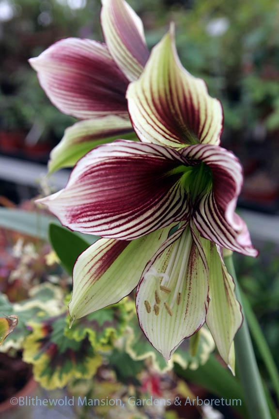 Amaryllis papilio - butterfly amaryllis