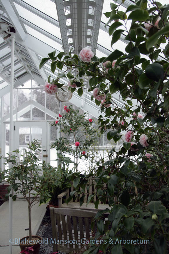 Camellias blooming in the greenhouse