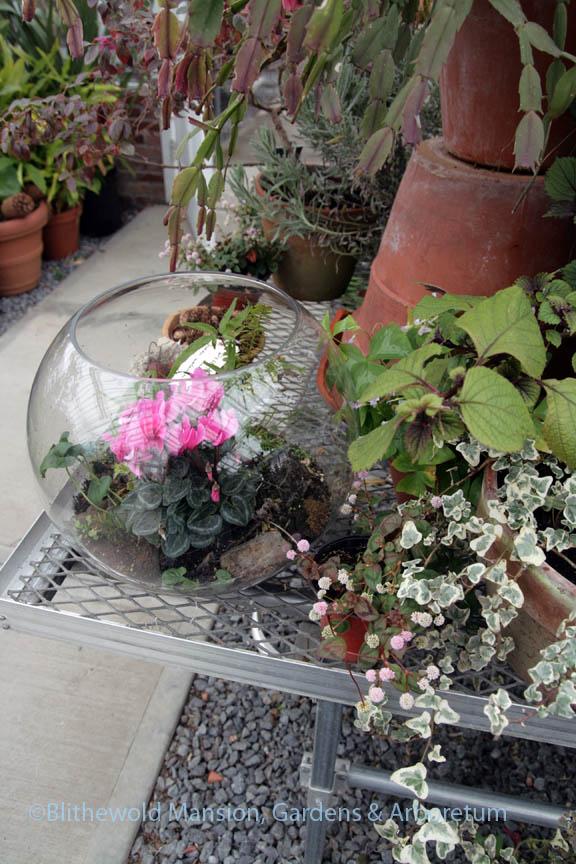 miniature cyclamen terrarium