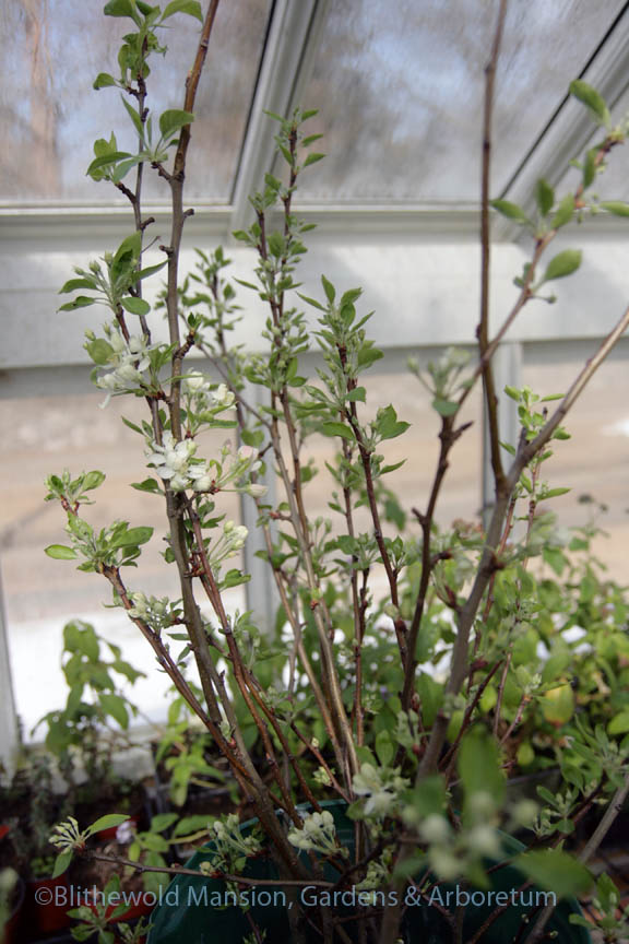 Crabapple branches (Malus 'Dolgo')