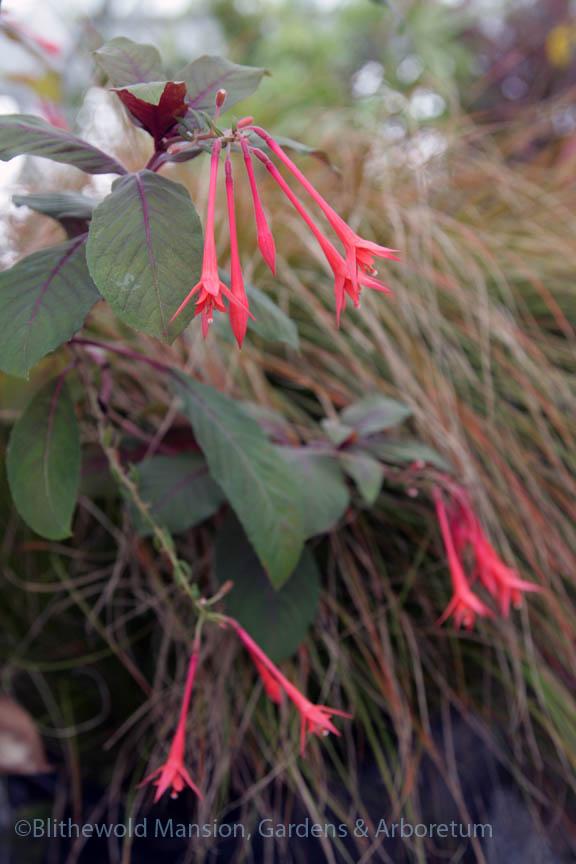 Fuchsia 'Gartenmeister Bonstedt' and Carex testacea
