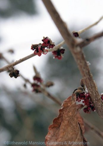 Hamamelis x intermedia 'Diane' - witch hazel