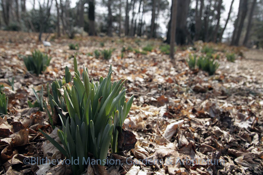 Budded daffodils in the Bosquet