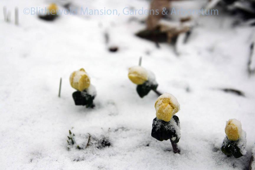 Winter aconite responding to the snow