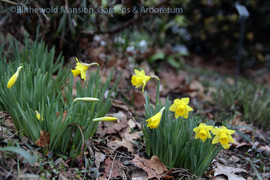 Narcissus 'Tete-a-Tete' open in the Moongate bed