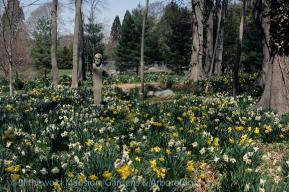 Bosquet daffodils 4-24-14