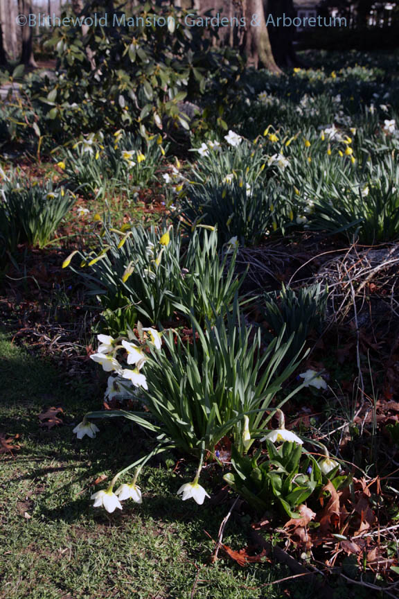 Fallen Narcissus 'Ice Follies'