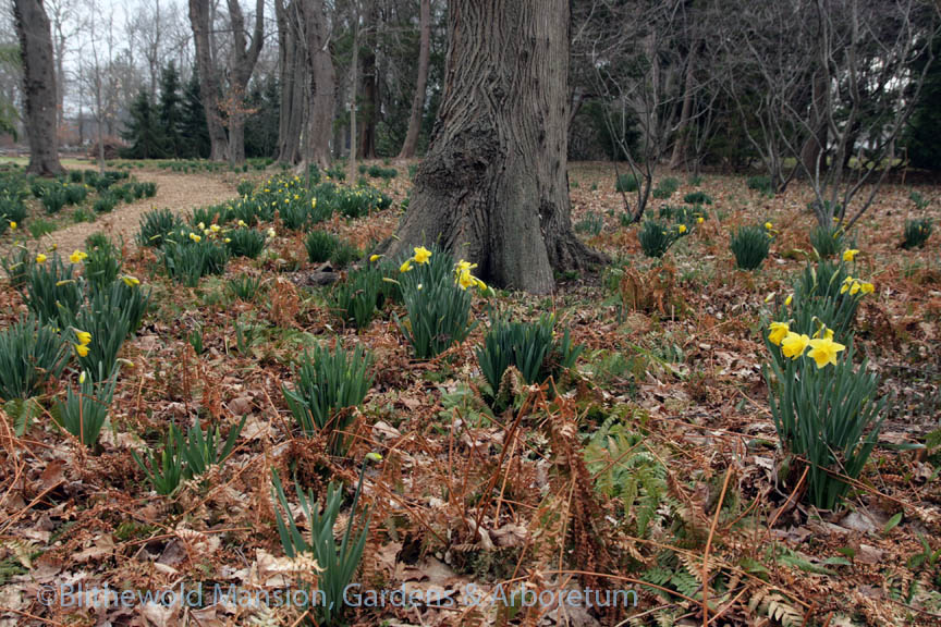 An open patch of daffodils in the Bosquet this morning (4-11-14)