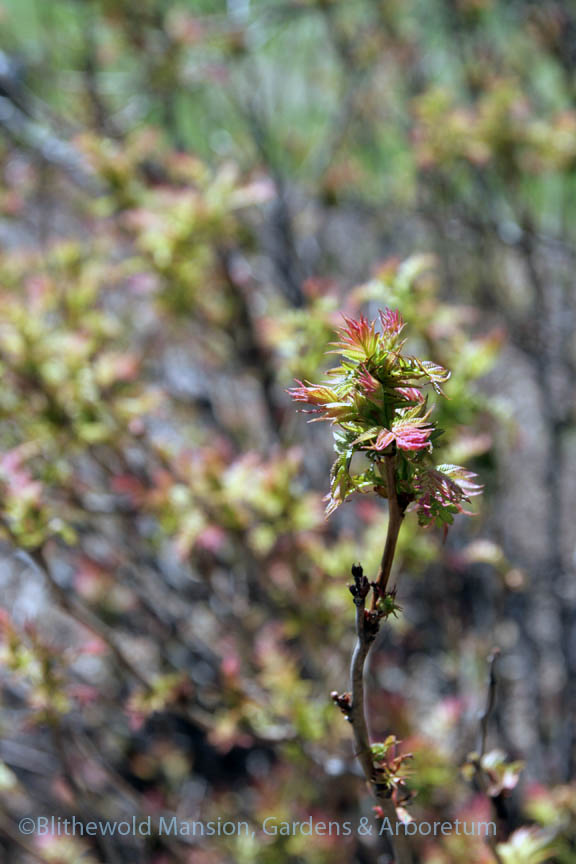 Foliage emerging - Sorbaria sorbifolia 'Sem'