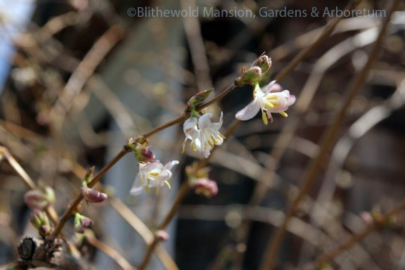 Winter honeysuckle (Lonicera fragrantissima) in the Rose Garden
