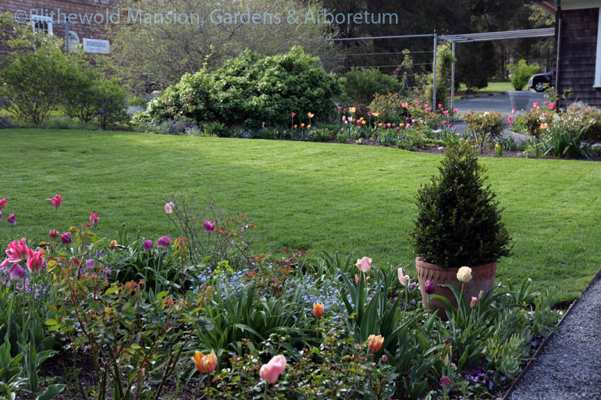 The Rose Garden on May 14, with tulips in full bloom