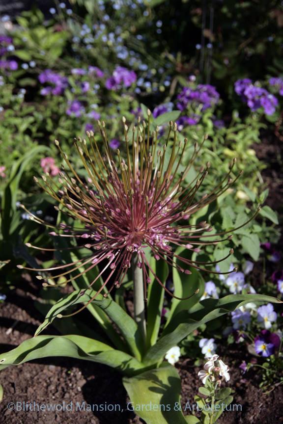 Allium schubertii beginning to bloom in  the Rose Garden