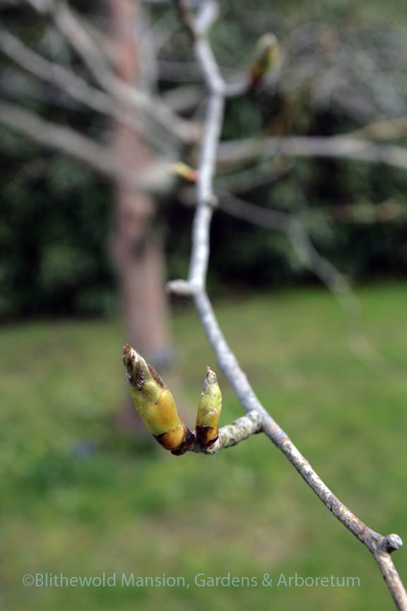 Dove tree buds 5-8-14