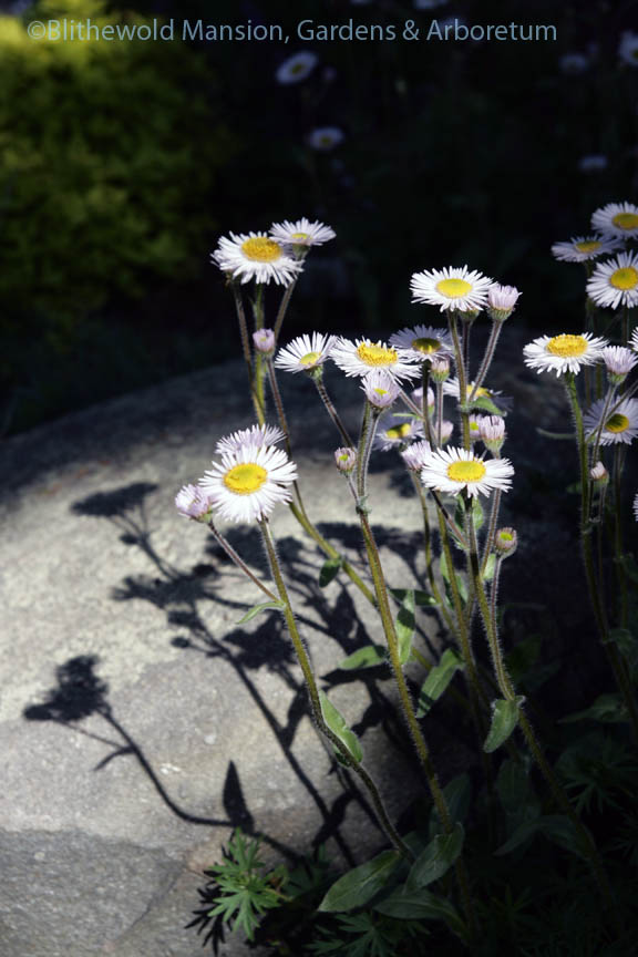 Erigeron glaucus 'Sea Breeze' in the Rock Garden spotlight