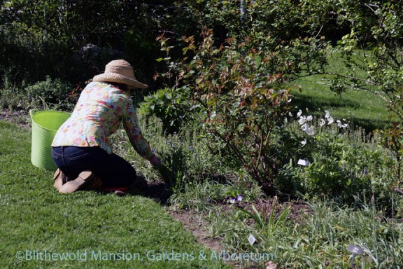 Kathryn weeding in the Rose Garden