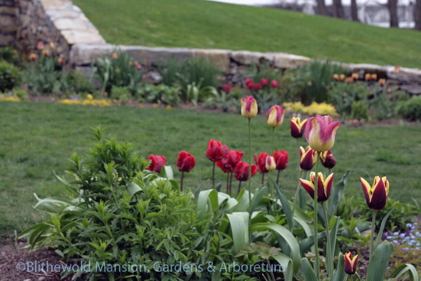 North Garden tulips 5-8-14