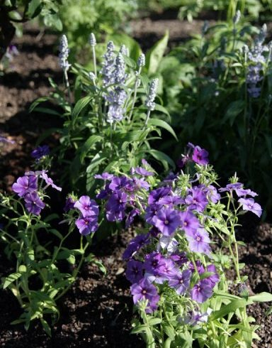 Phlox drummondii '21st Century Blue' and Salvia 'Cathedral Sky Blue'