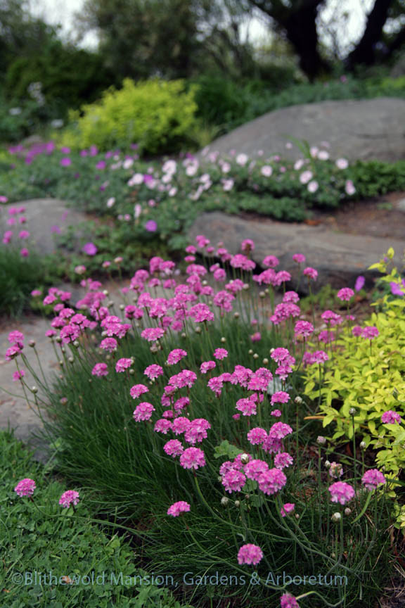 Thrift (Armeria maritima) in the Rock Garden