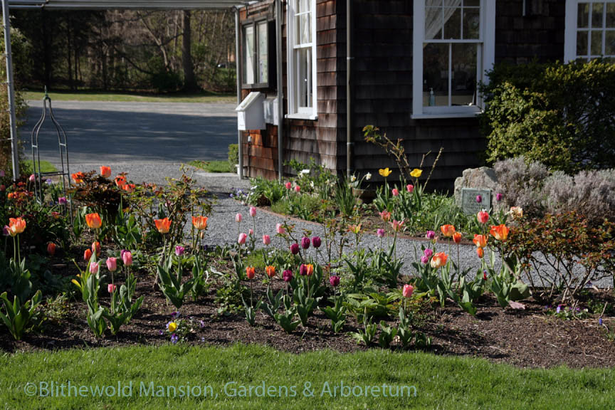 Rose Garden tulips, 5-8-14