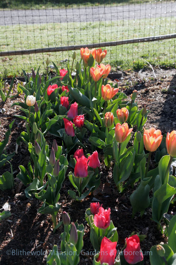 a test patch of Tulips 'Sanne', 'Portland', and 'Apricot Emperor'